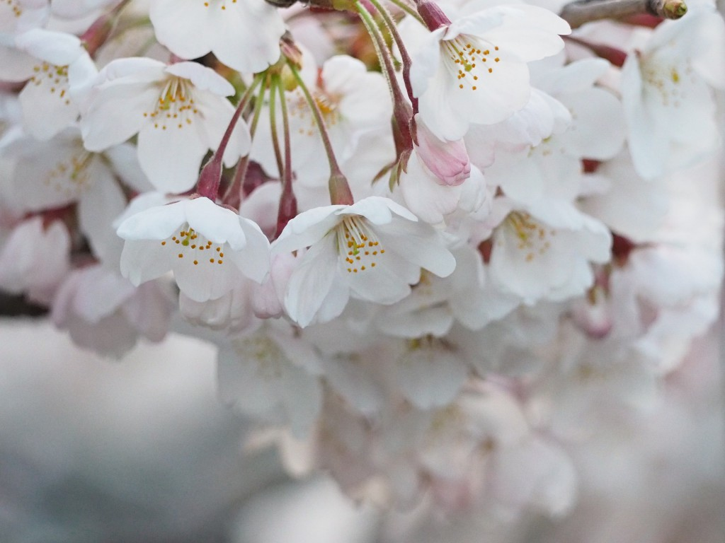cherry-blossoms-695805_1920